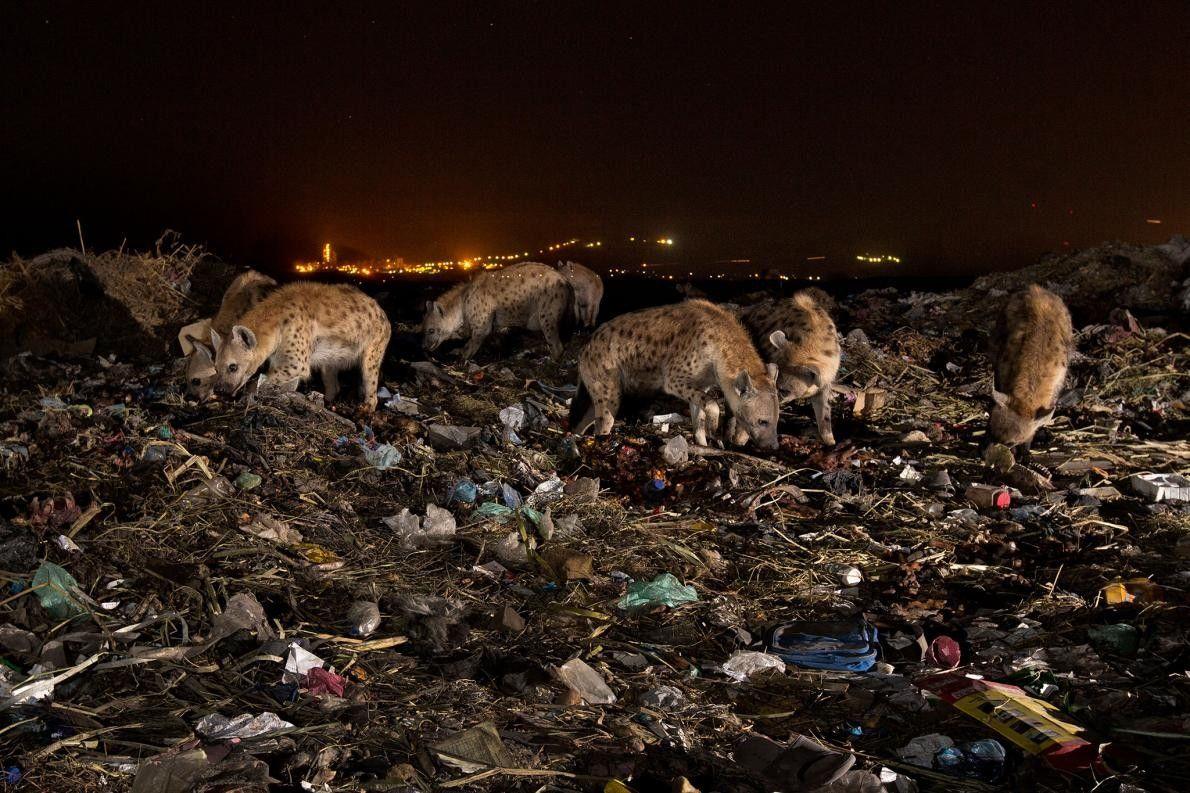 Uma alcateia de hienas num aterro sanitário em Makelle, Etiópia. Fragmentos de plástico vêm agarrados a ...
