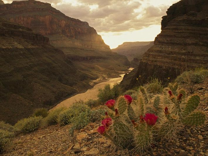 O desabrochar vermelho nos catos num vale do Grand Canyon. Atravessado pelo Rio Colorado há milhões ...