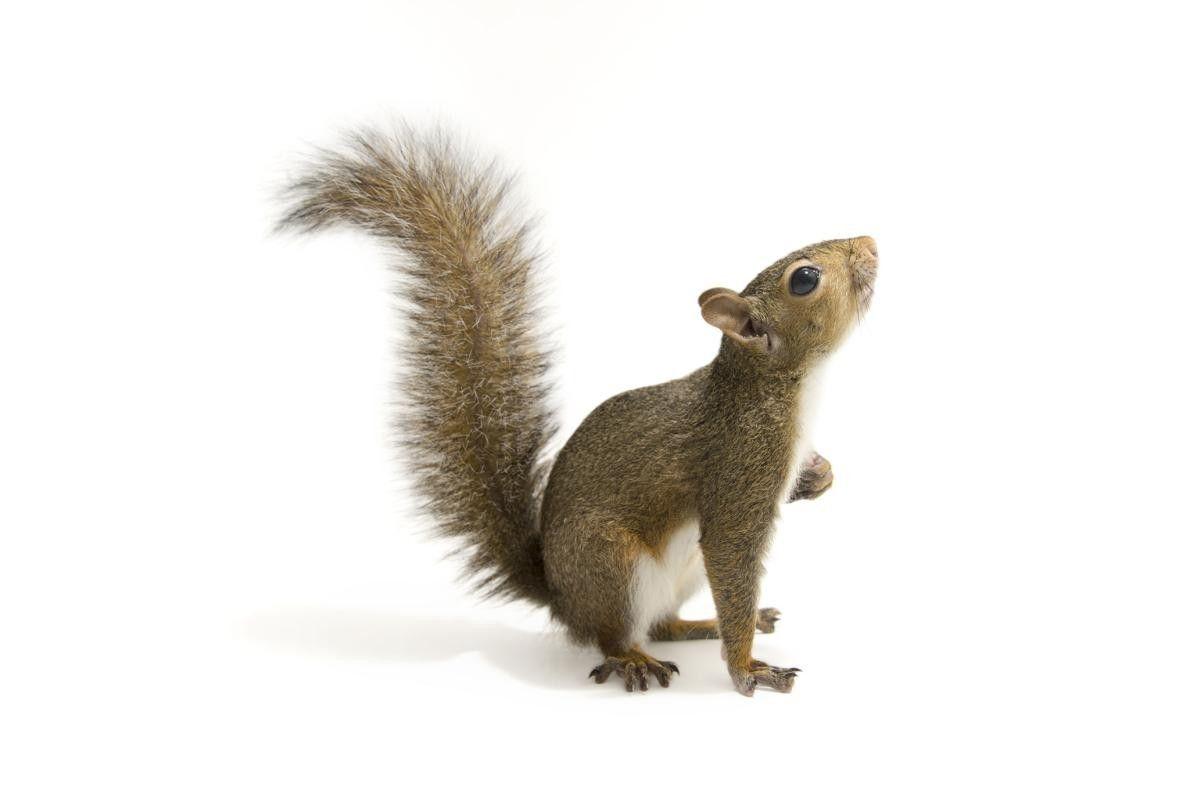 Um Esquilo-cinzento (Sciurus carolinensis) fotografado no Tallahassee, Flórida.