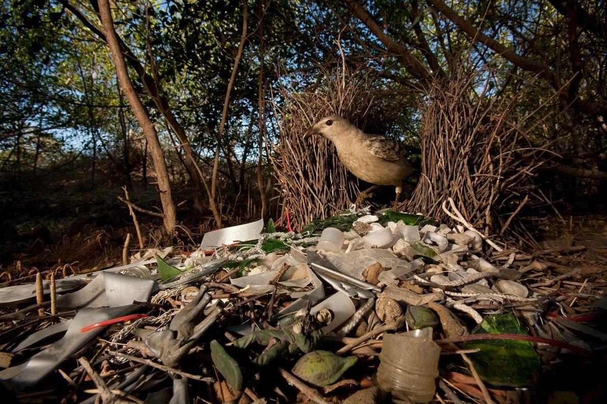 Um pássaro-arquiteto-cinza, em Queensland, na Austrália, decora o seu lar com vidros, plástico, brinquedos, e outros ...