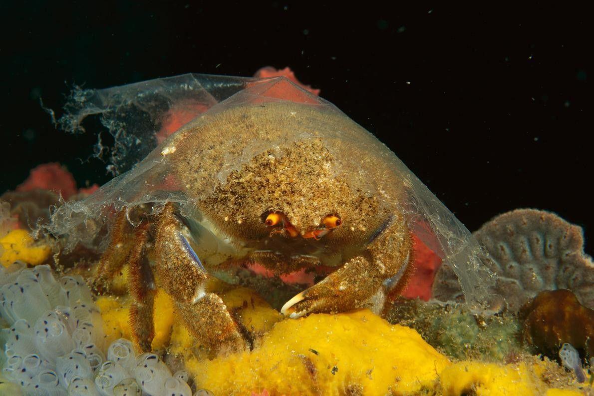 Um caranguejo-esponja cobre a carapaça com uma folha de plástico, em Edithburgh, na Austrália. Historicamente, os ...