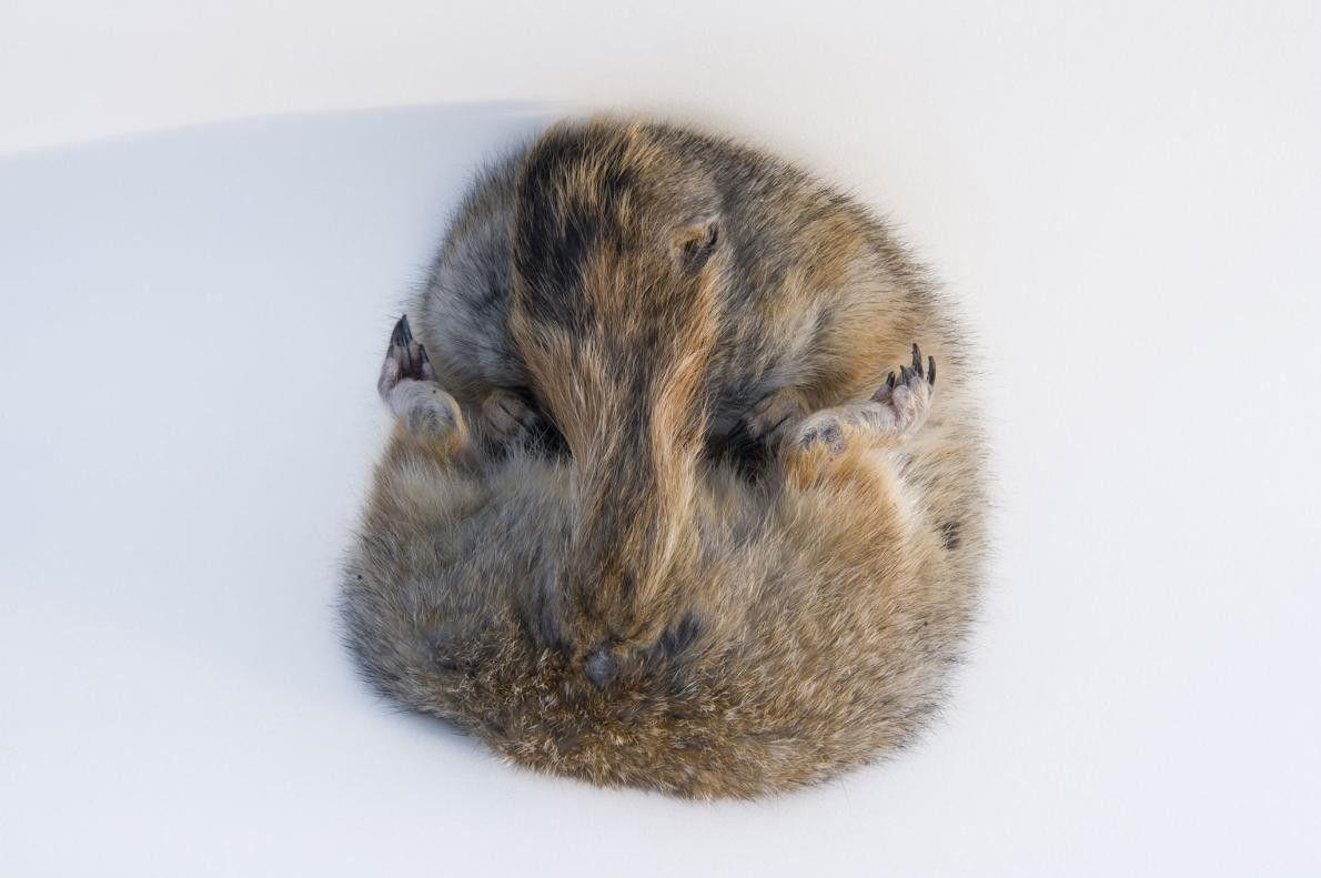 Um Esquilo-do-ártico (Spermophilus parryii) a hibernar, fotografado na Universidade do Alasca, em Fairbanks.