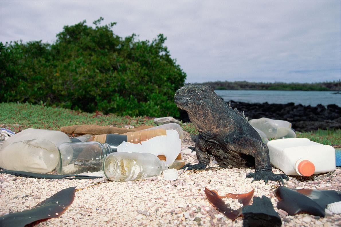 Recipientes de plástico e vidro vazios dão à costa e poluem o habitat desta iguana-marinha, na ...