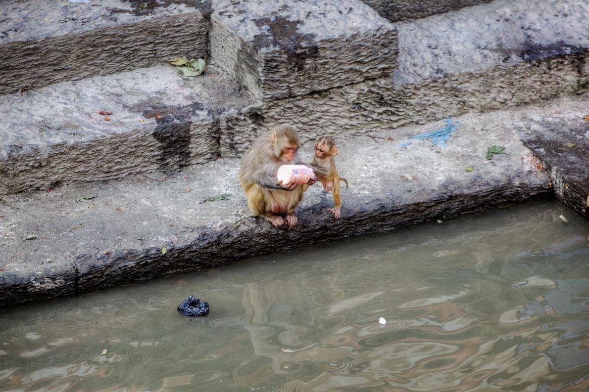 Um par de macacos-rhesus curiosos inspecionam uma garrafa de plástico abandonada à saída do Templo de ...
