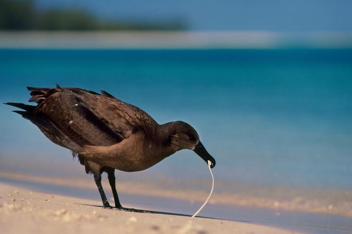 Um Albatroz-de-patas-negras mordisca fragmentos de plástico nas Ilhas Leeward, no Havai. As aves marinhas dependem do ...