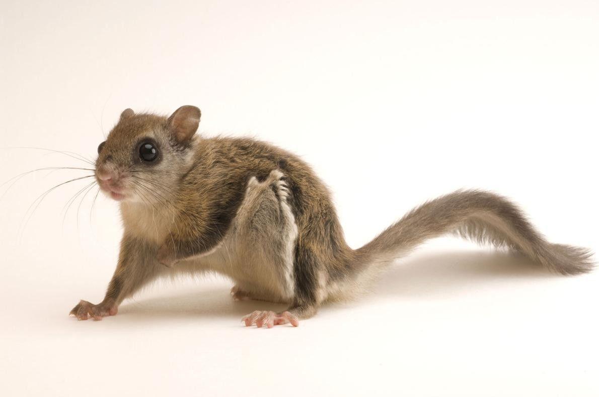 Um jovem exemplar de Esquilo-voador-do-norte (Glaucomys sabrinus) fotografado no Wildlife Images Rehabilitation and Education Center, em ...