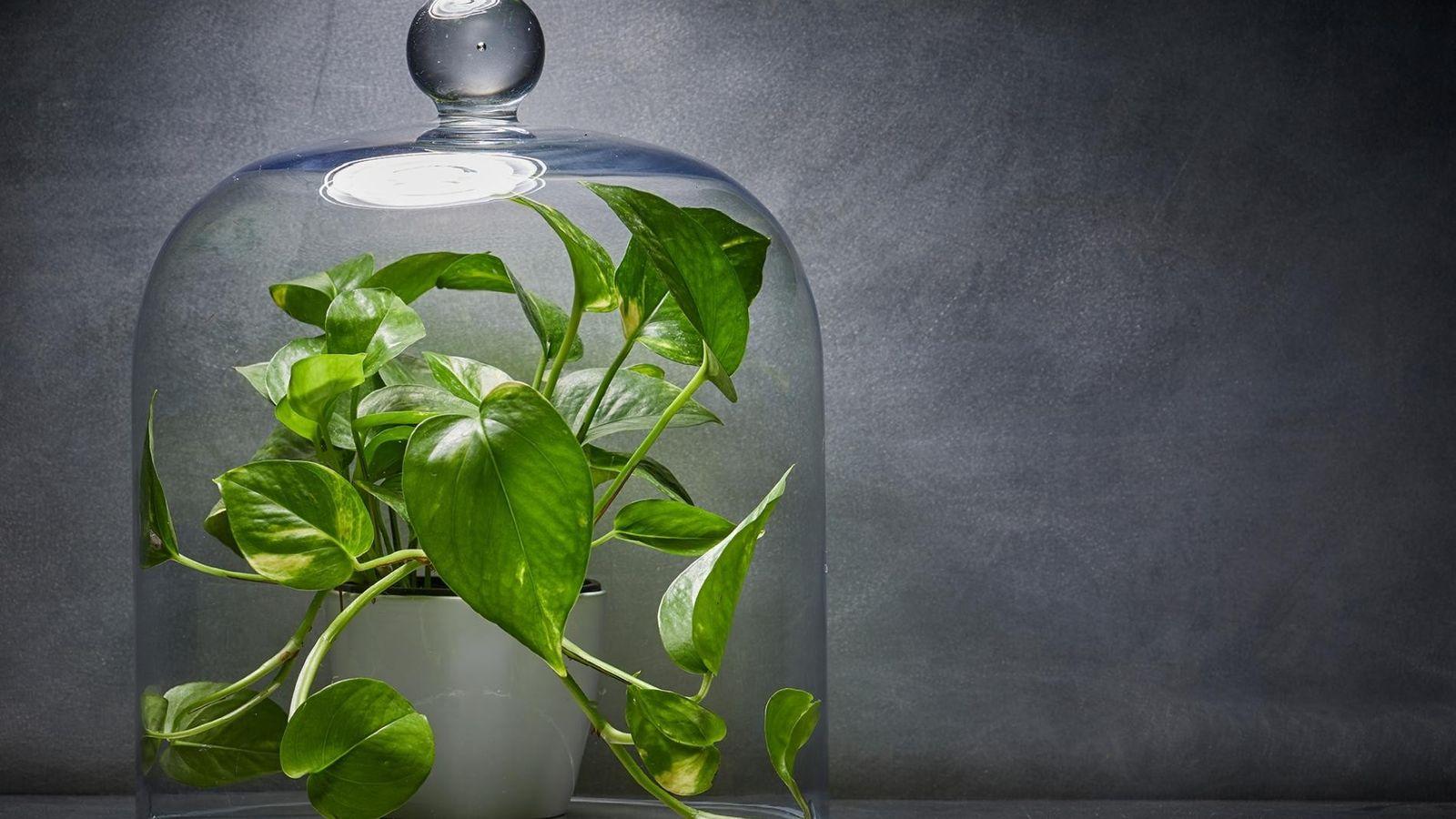 A jardinagem de interiores tem estado em ascensão, mas muitas das plantas domésticas são comercializadas com ...