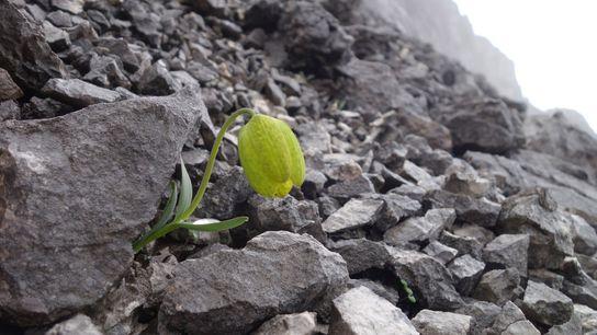A pequena Fritillaria delavayi produz um bolbo de flor uma vez por ano. Esta planta é ...