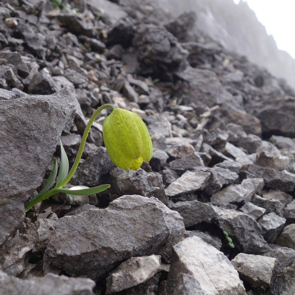 Esta planta muito procurada está a evoluir para se esconder do seu maior predador – os ...