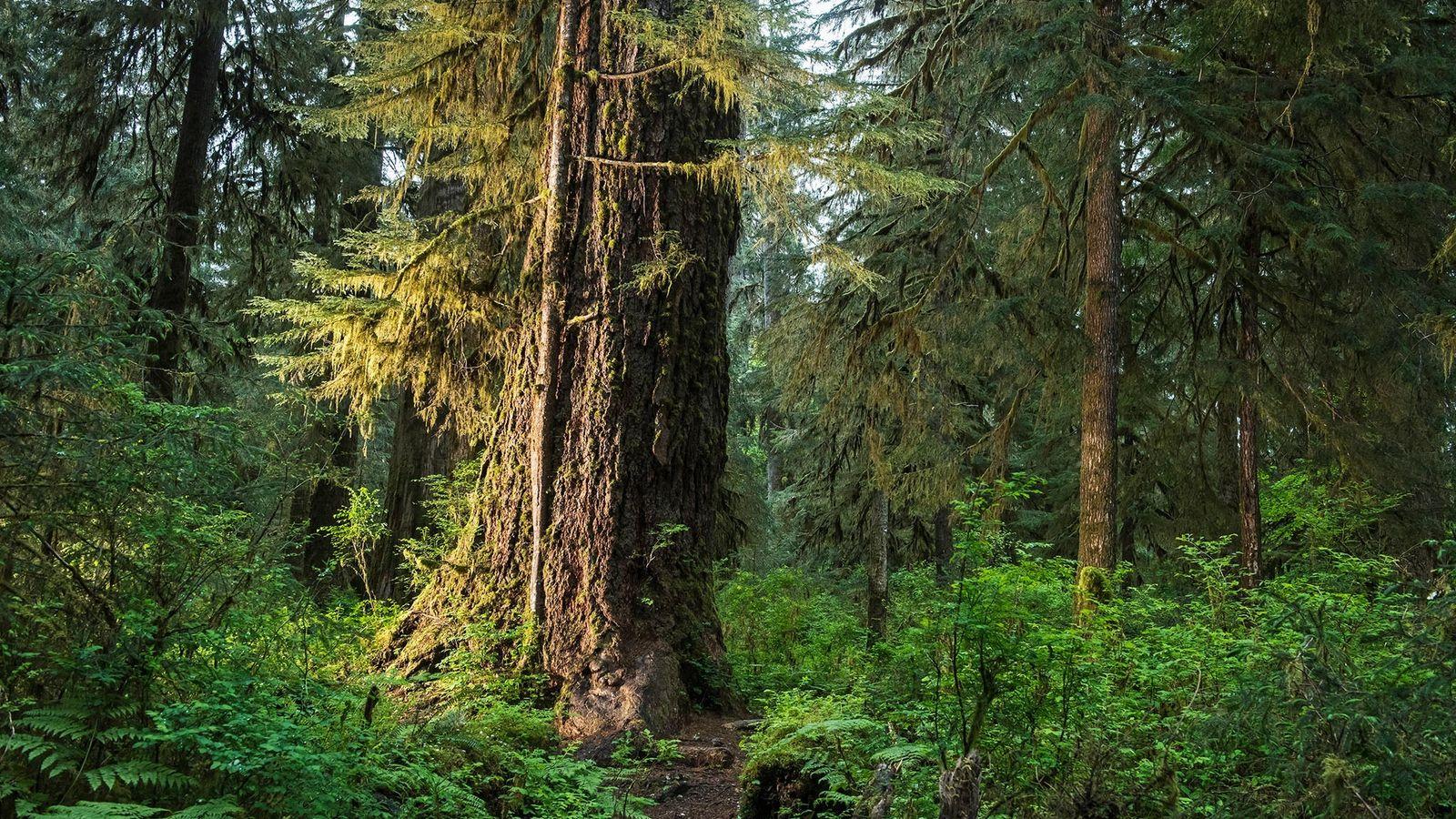 Florestas como a Hall of Mosses, no Parque Nacional Olympic, em Washington, são zonas críticas de ...