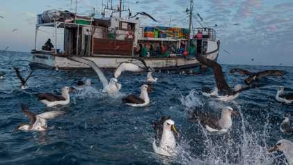 Aves Marinhas Que Comem Plástico – e Sobrevivem – Têm Graves Problemas de Saúde