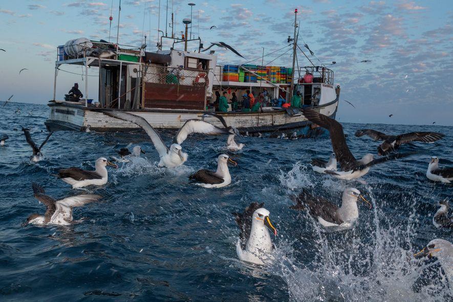 Albatrozes e pardelas comem sardinhas atiradas de uma embarcação.