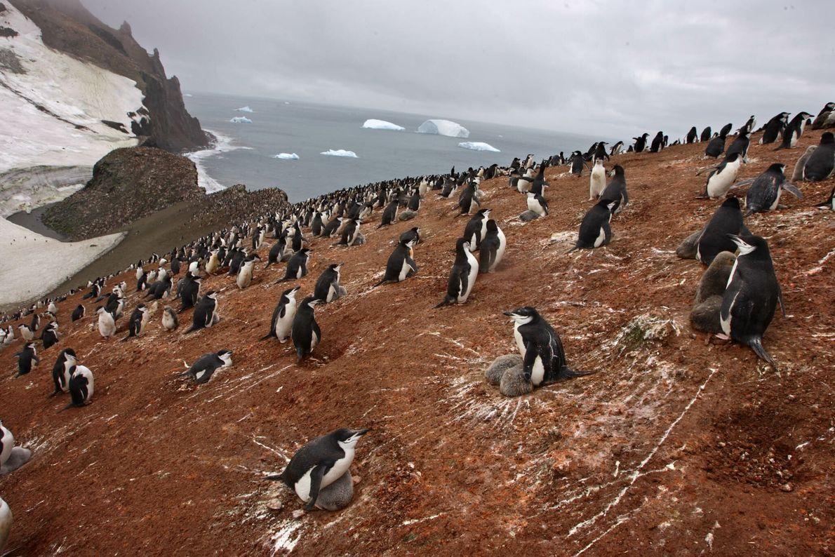 Pinguins-de-barbicha