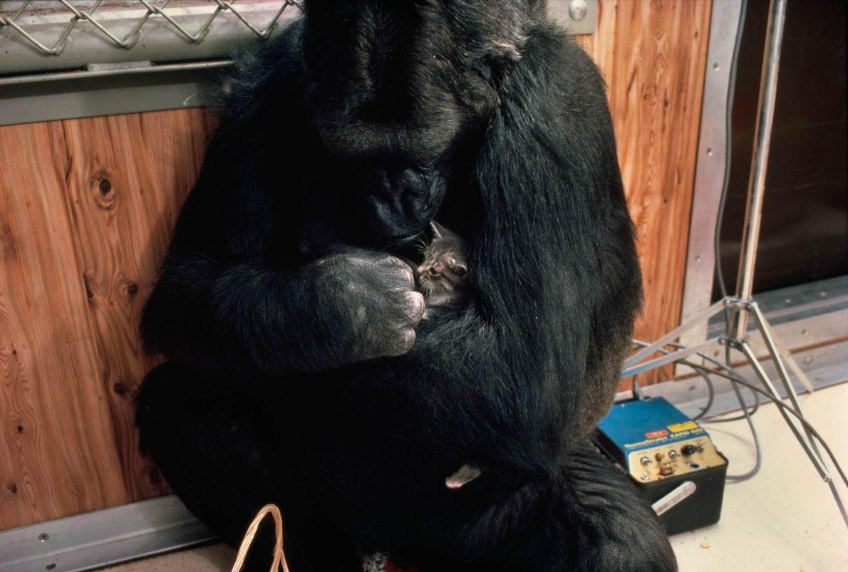 O gatinho de Koko