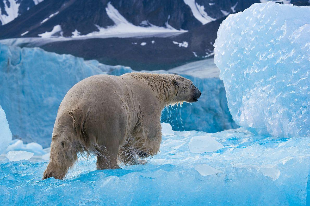 Caçada Polar