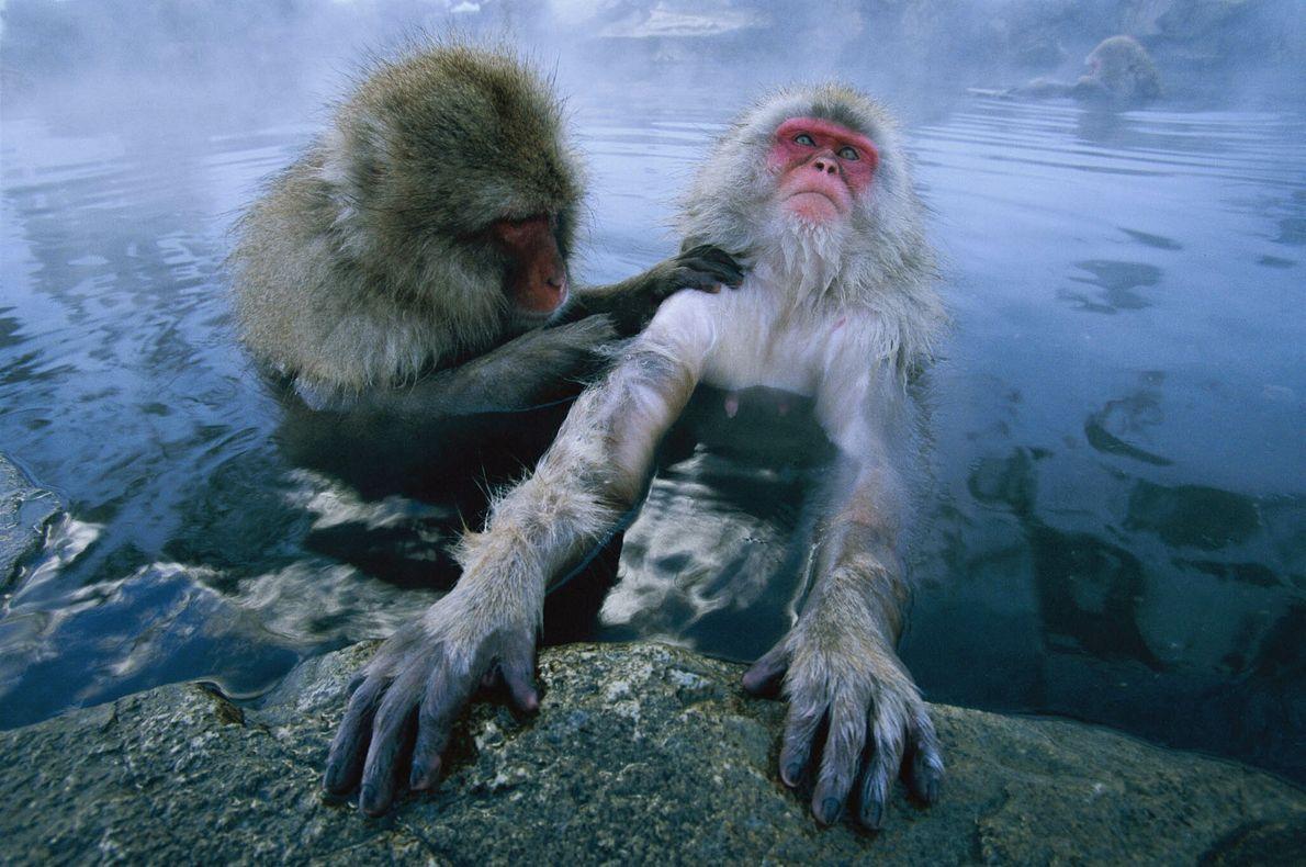 Macacos da Neve