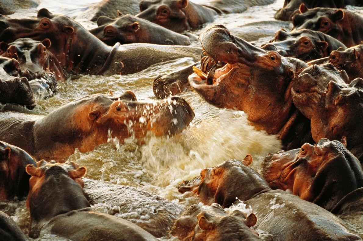 Hipopótamos Violentos