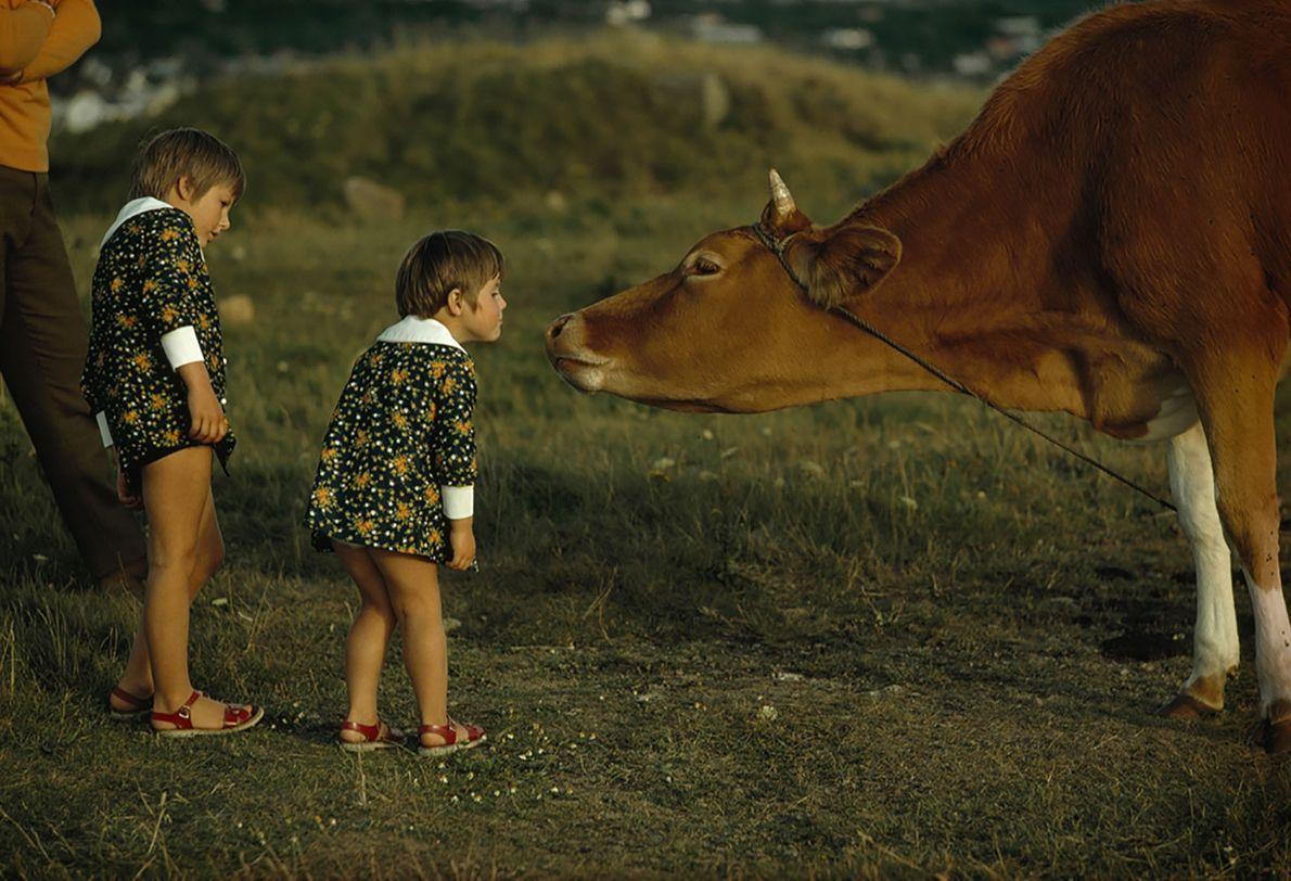 Vaca da Ilha