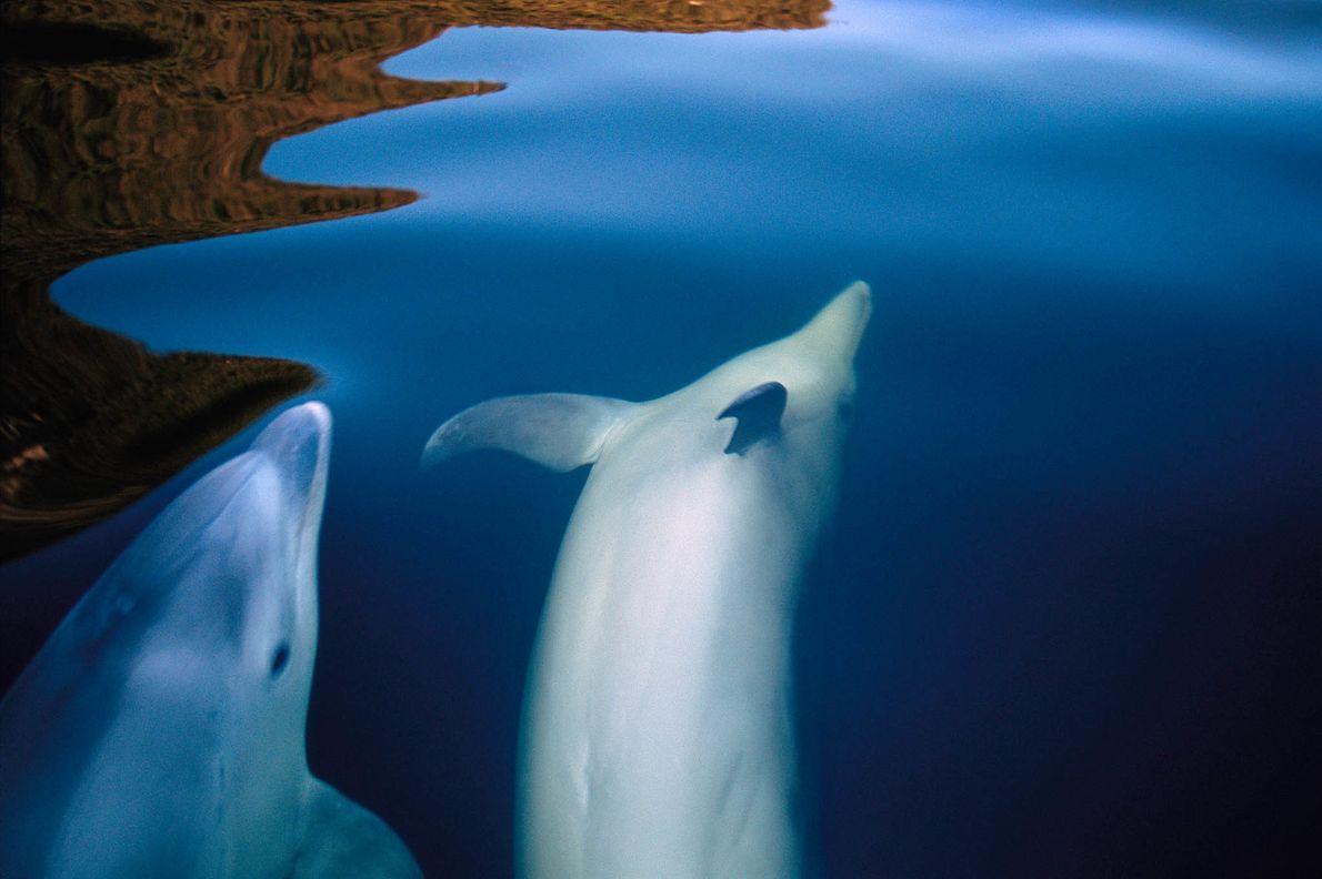 Golfinhos Duvidosos