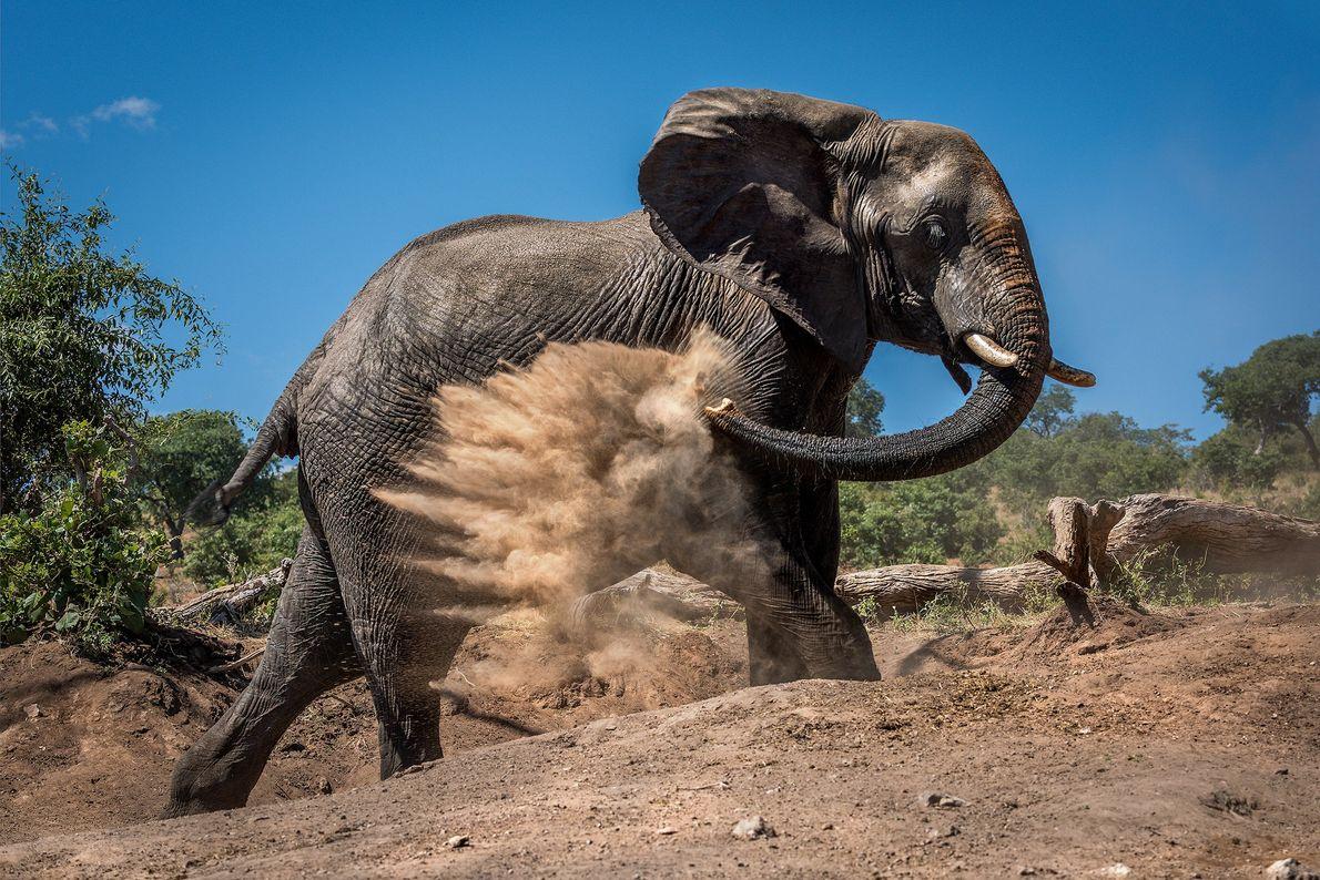 Fotografia de um elefante a cobrir-se de pó