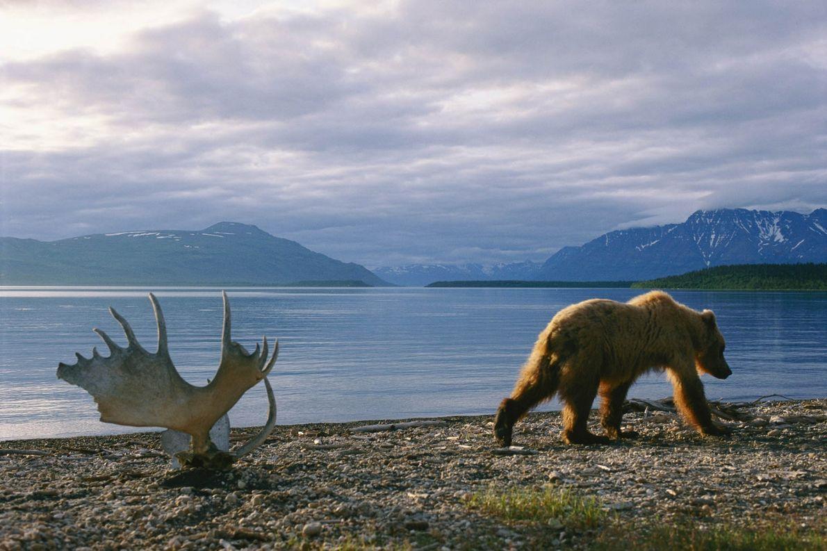 Urso-pardo do Alasca