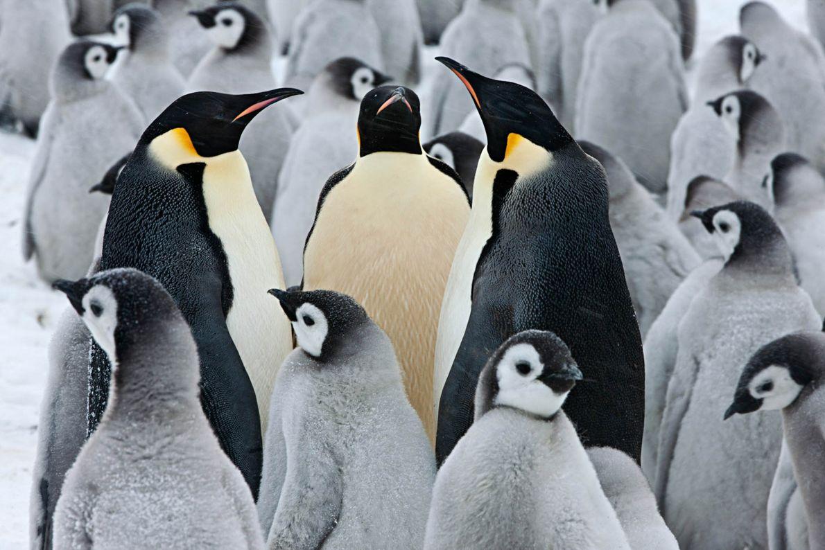 Companheiros pinguins