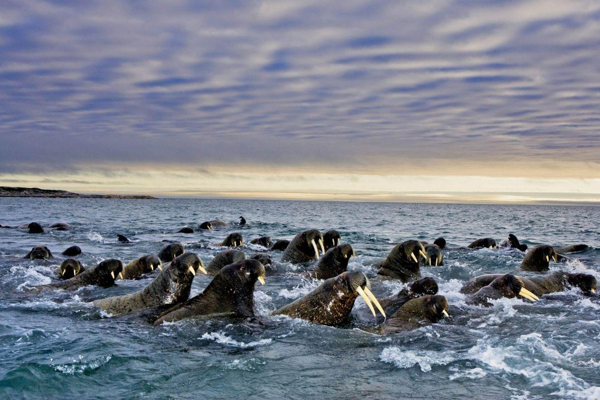 Migração das morsas