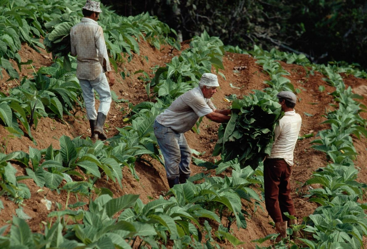Plantações de tabaco