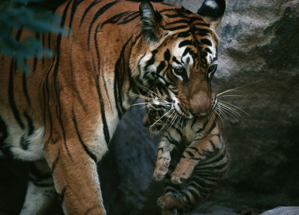 Mãe tigre