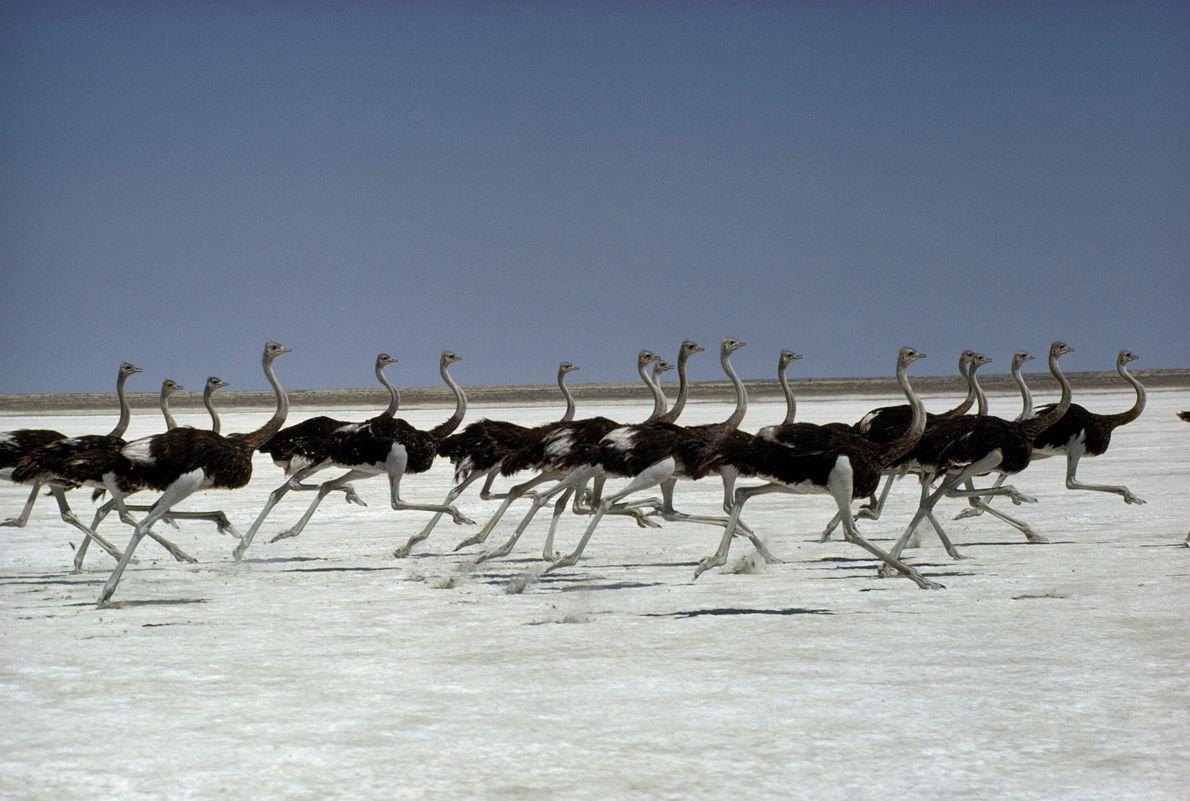 Avestruzes em movimento