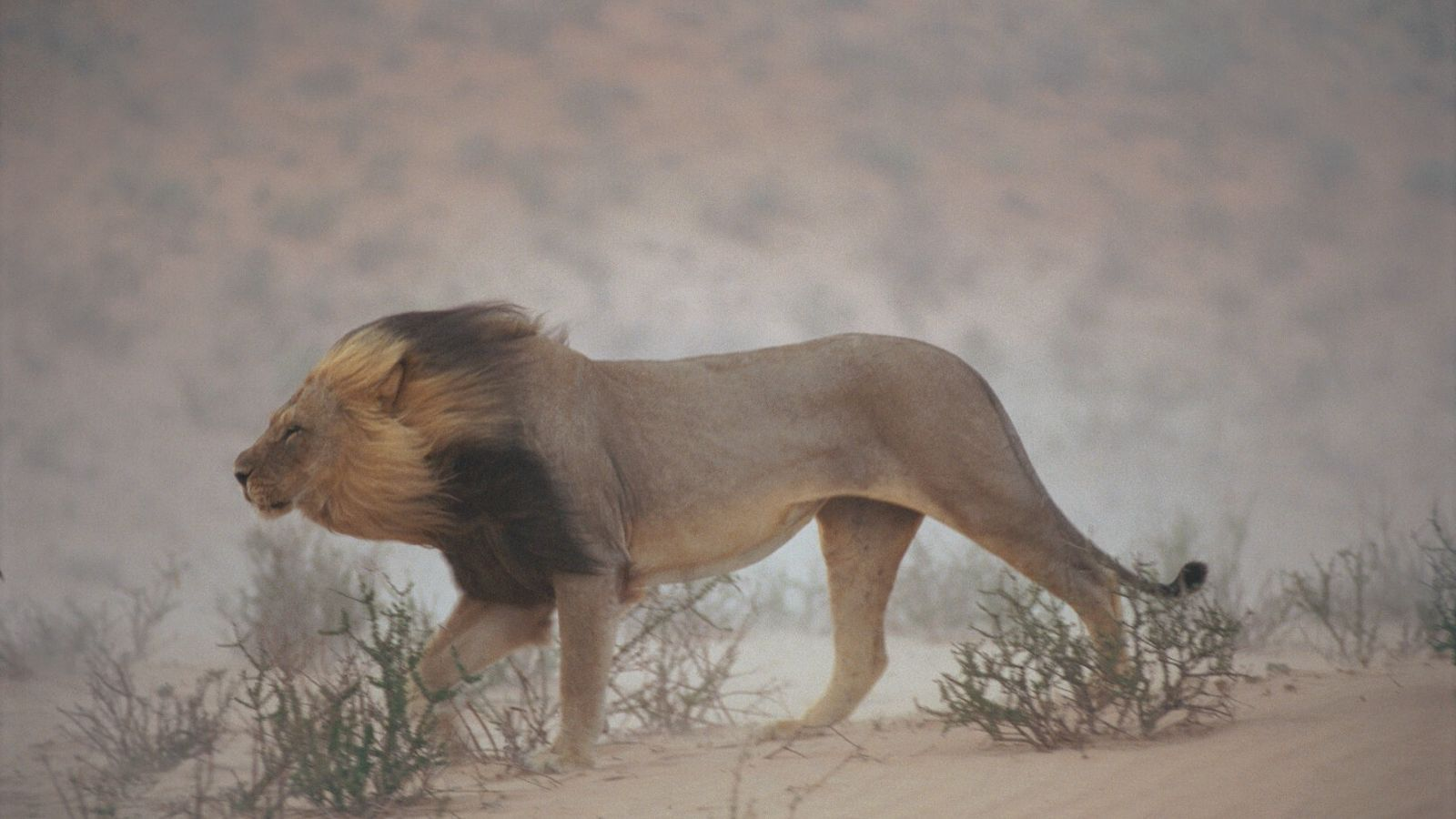 A juba do leão
