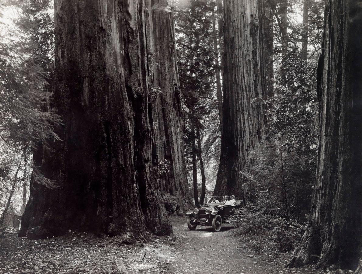 Sequoias da Califórnia