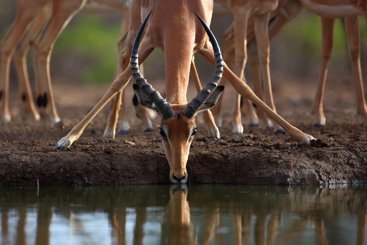 Fotografia de uma impala a beber água no Botswana
