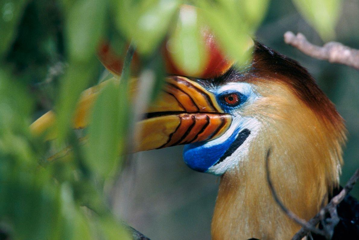 Calau-de-bico-vermelho