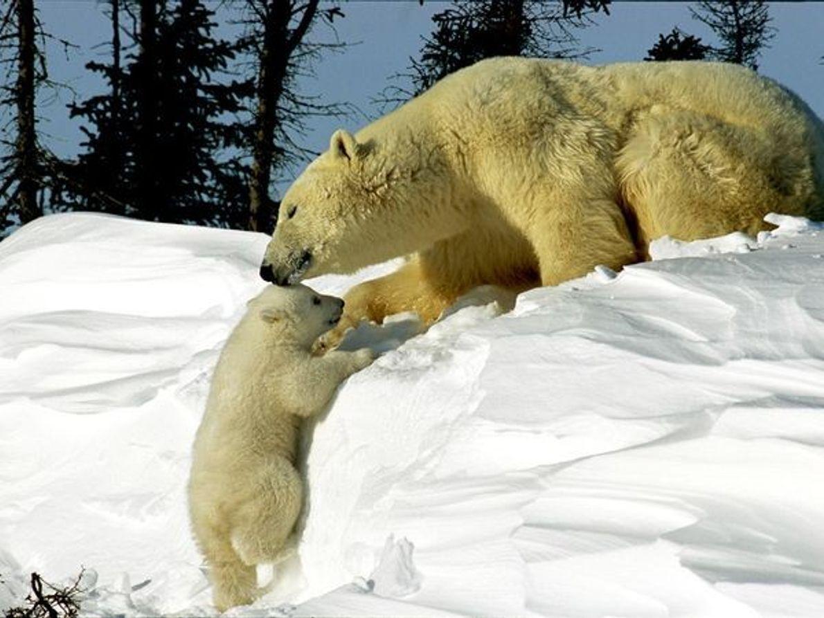 Mãe urso polar com a sua cria