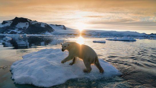 Um urso-polar a navegar no clima ártico da Gronelândia. Depois da União Internacional para Conservação da ...