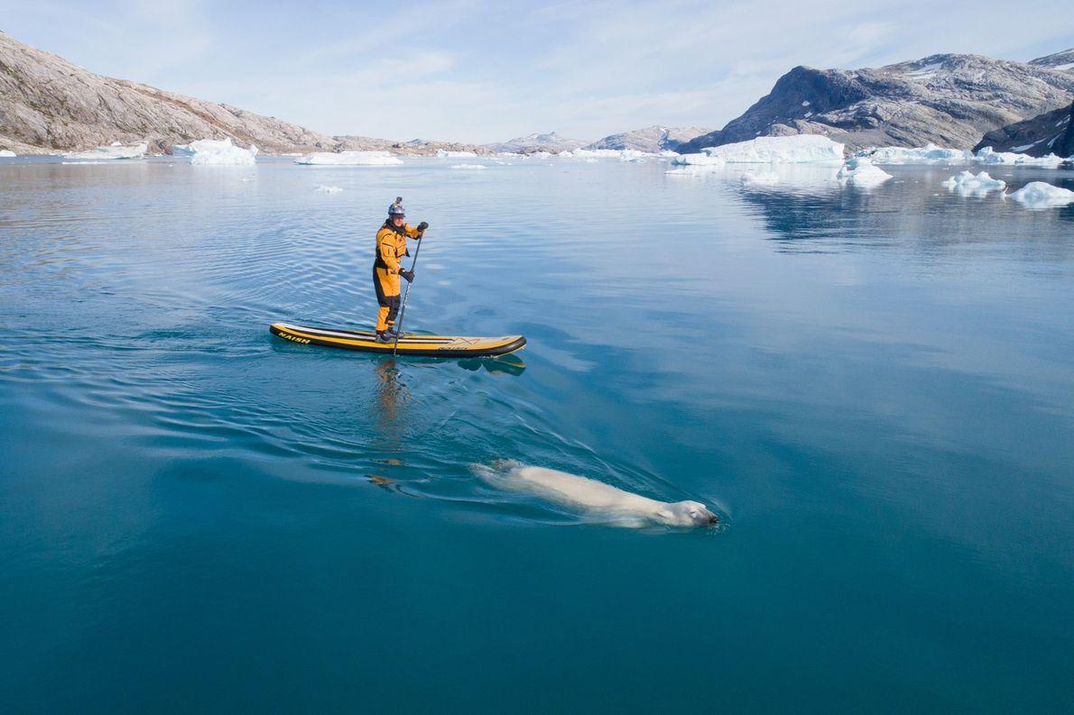 Libecki aproxima-se de um urso-polar, enquanto pratica paddleboarding, no Mar da Gronelândia.