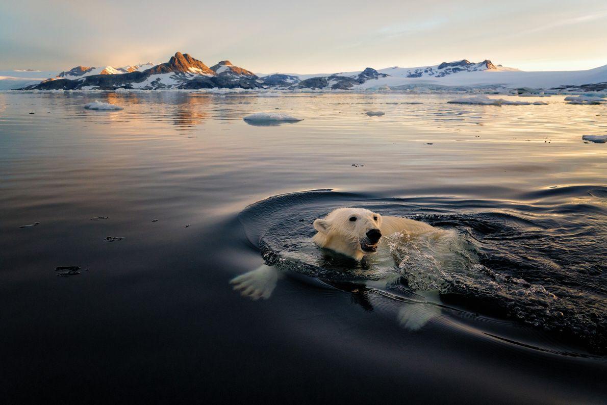 Os ursos-polares, frequentemente encontrados na costa este da ilha, são conhecidos por tornassuk – ou mestre ...