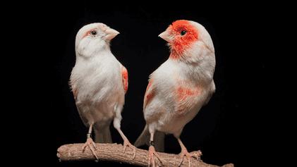 Investigadores Portugueses Descobrem a Razão do Dicromatismo Sexual em Aves