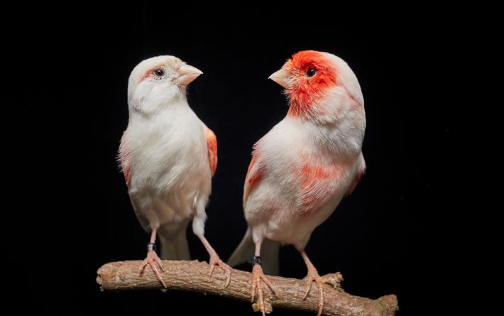 Macho e fêmea de canário comum (Serinus canaria) com dimorfismo sexual (i.e. diferença de coloração entre ...