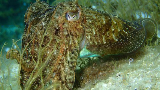 Cefalópodes e Inteligência: o Caso do Choco Social