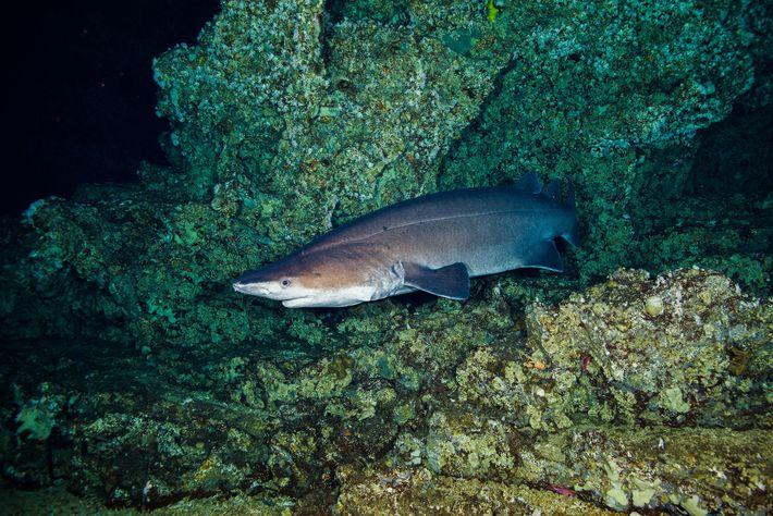 Um tubarão-negro-de-espinhos.