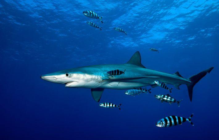 Tubarão-azul nada junto à superfície, sobre o monte submarino Condor.