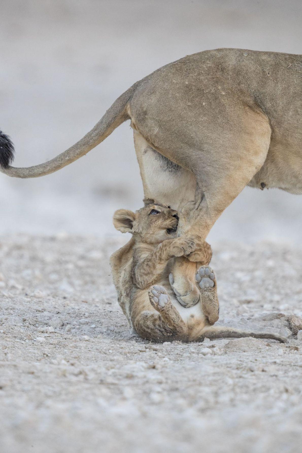 """""""Uma leoa e a sua cria. Fora do enquadramento estavam outros leões a descansar. Enquanto a ..."""