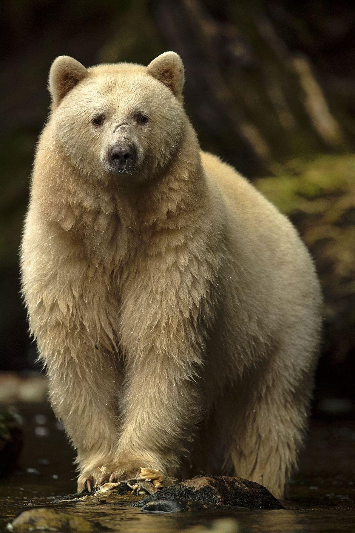 FLORESTA TROPICAL GREAT BEAR, COLÚMBIA BRITÂNICA