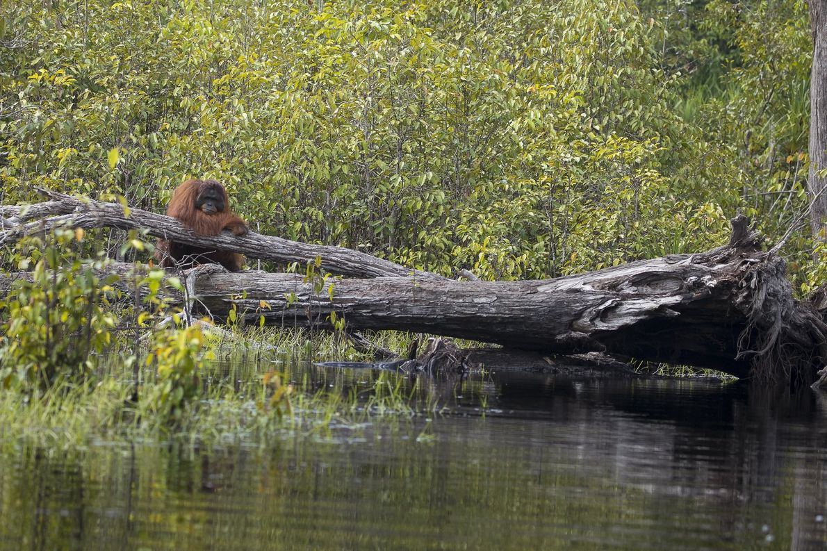 Orangotango Ameaçado no Bornéu