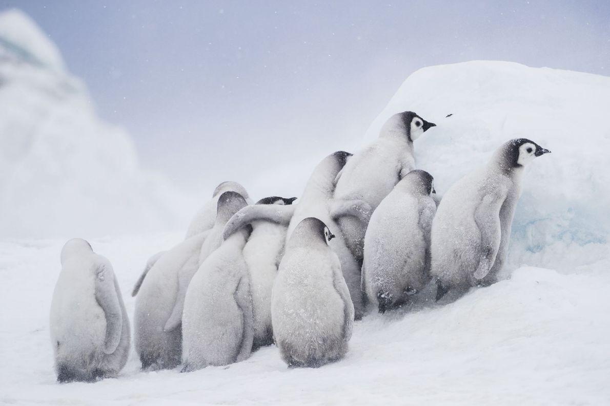 """ANTÁRTIDA """"Crias de pinguim-imperador juntas em grupo. Enquanto crescem, ambos os pais precisam de se ausentar para …"""