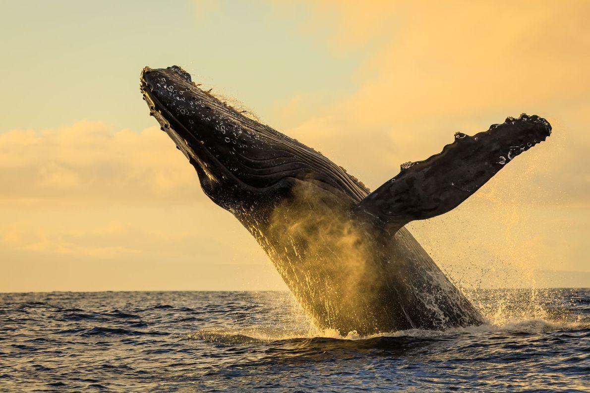 """MAUI, HAVAI """"De manhã cedo, no primeiro dia de observação de baleias – patrocinado por Ralph Lee …"""