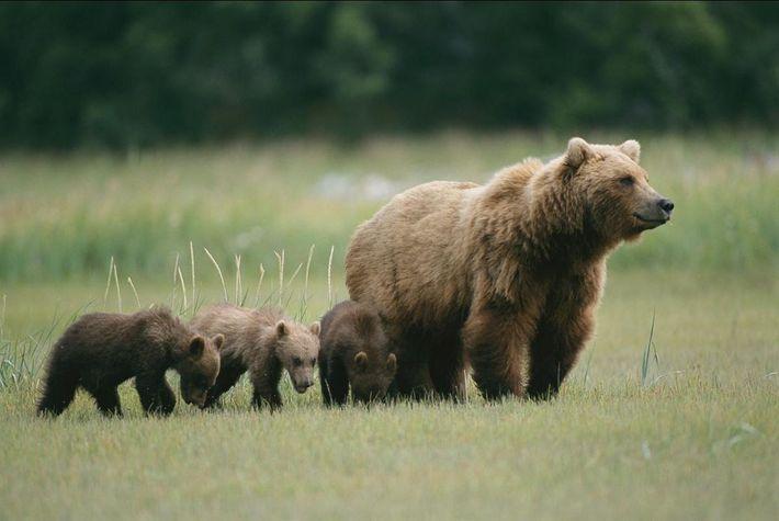 Um urso pardo fêmea e as suas crias semelhantes aos exemplares filmados recentemente na Rússia num ...