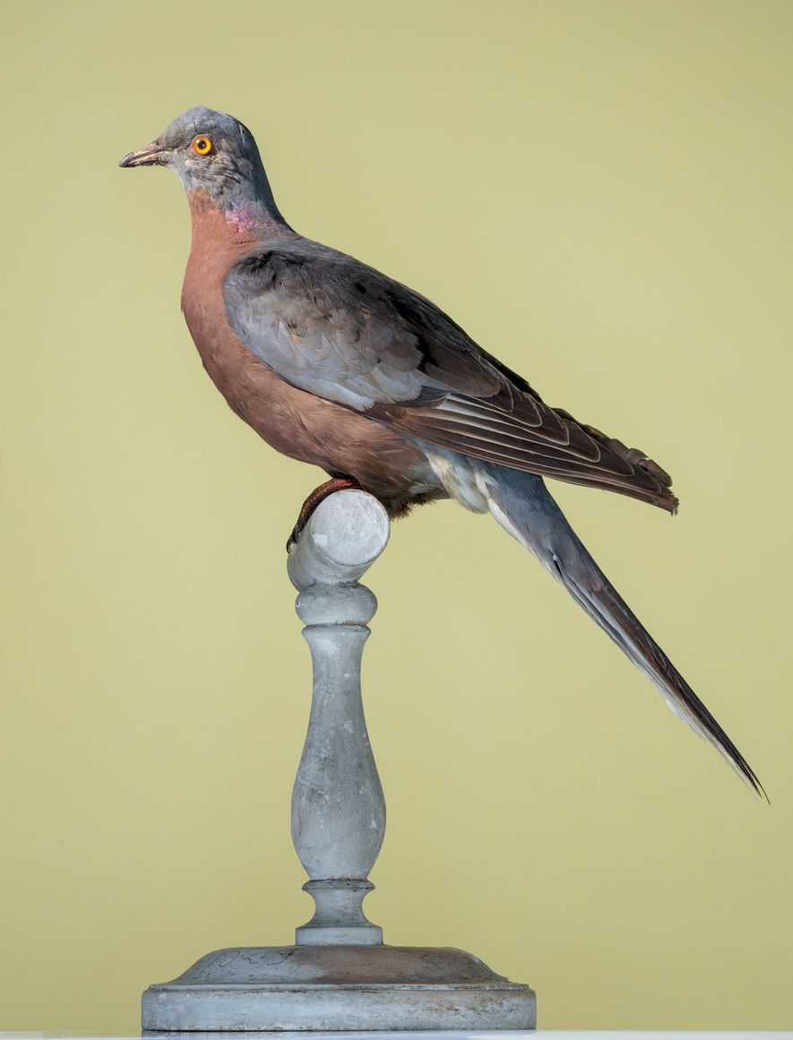 Passenger pigeon (Ectopistes migratorius)This North American bird was hunted to extinction; the last one died in ...